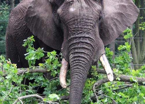 Elefantenbulle Tonga